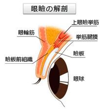 眼瞼の解剖図
